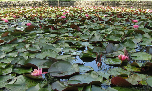 PHOTO: Lilies of the pond